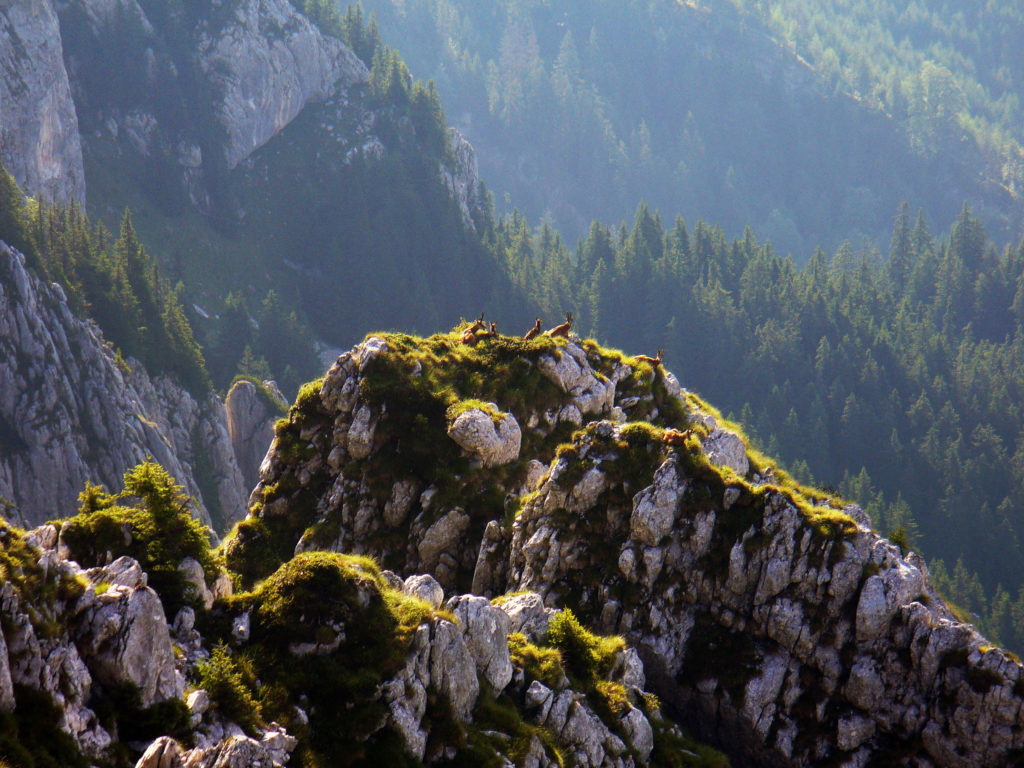 Black-Goats-Piatra-Craiului-Mountains